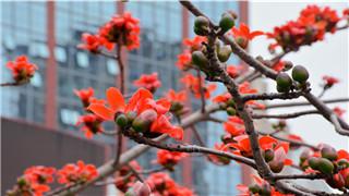 最是一年春好处,威尼斯人棋牌游戏平台的木棉花开啦,红红火火,灿若红霞!