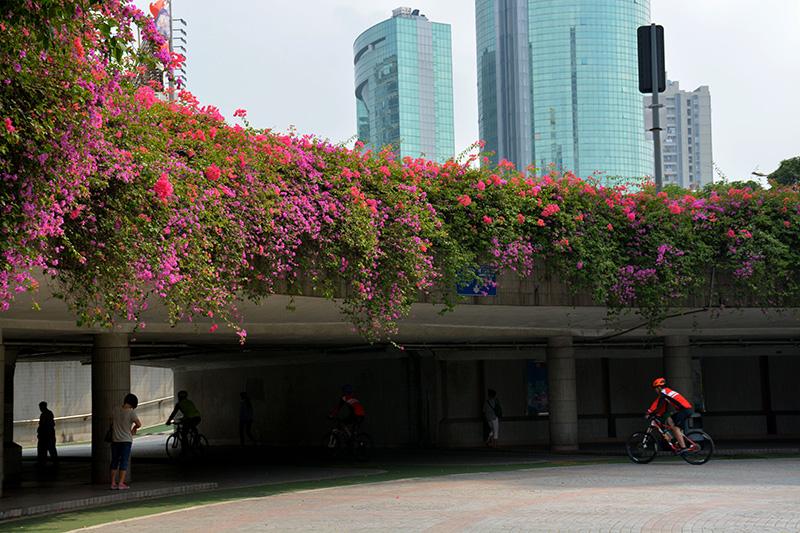 这一簇簇,三个花瓣喇叭张开的紫色簕杜鹃,在威尼斯人棋牌游戏平台很常见。有了它们,墙角、天桥、河堤、阳台都宛如流泻的花瀑,娇艳夺目。(捕风捉影摄于城门头下沉式广场)