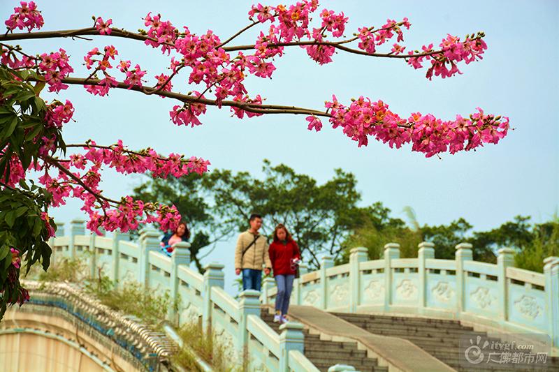 祖庙的冬天,总有繁花点缀,美丽异木棉、洋紫荆花等争相盛开。整个城市仿佛被染成了一片玫瑰色,走在街头,依然春色满园,让人心情舒畅。(地点:升平桥,作者:捕风捉影)