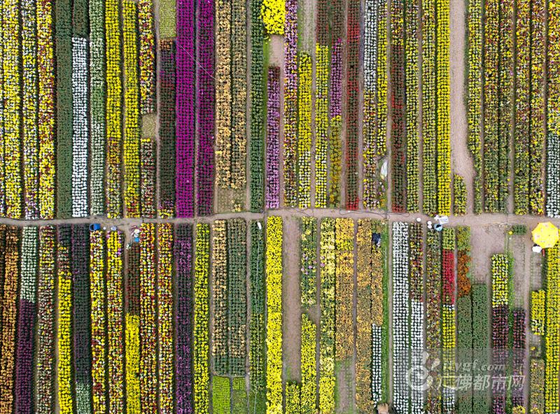1月17日,顺德北滘潭洲河畔,花开成海,田野妖娆。从上空俯瞰呈现一片耀眼的花海。