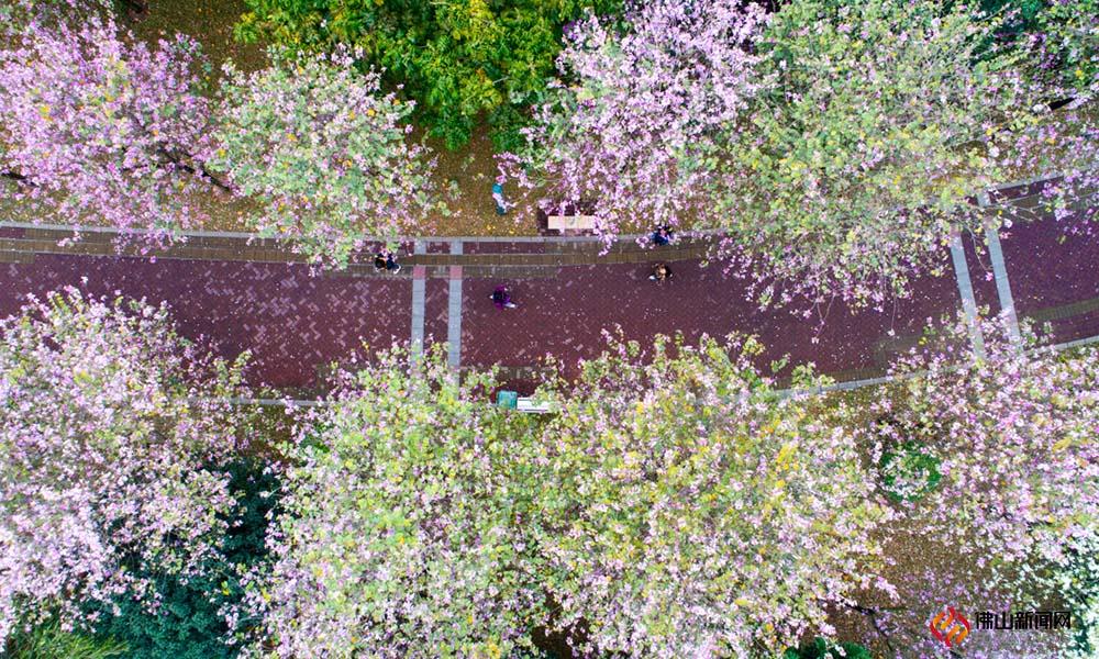 烟花三月,亚艺公园宫粉紫荆争艳怒放,美不胜收。