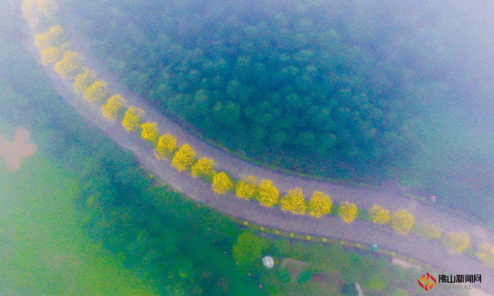 烟雨迷雾中,丹灶仙湖朦胧,黄花风铃木也似乎染上了仙气。
