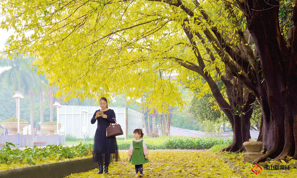 不是深秋,烟花三月,威尼斯人棋牌游戏平台大街小巷的大叶榕却被染成了烂漫的金色。