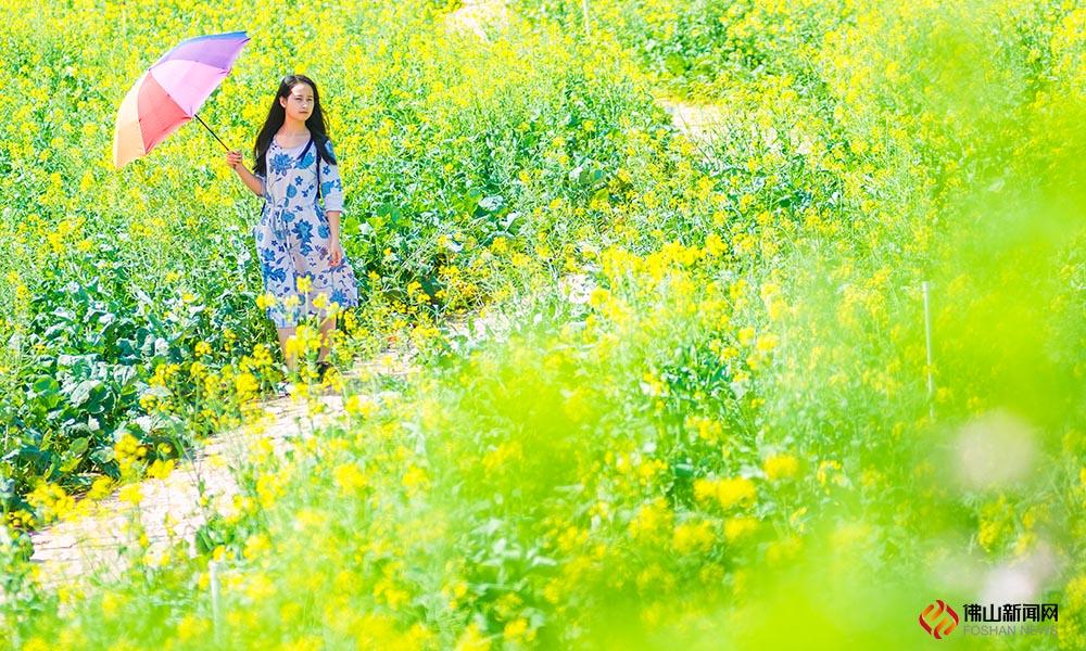 """4月天,春满人间。这里有一袭望不到尽头的金黄色花海,""""春""""色诱惑,难以抵抗。这片百亩怒放的油菜花就在西樵听音湖!"""