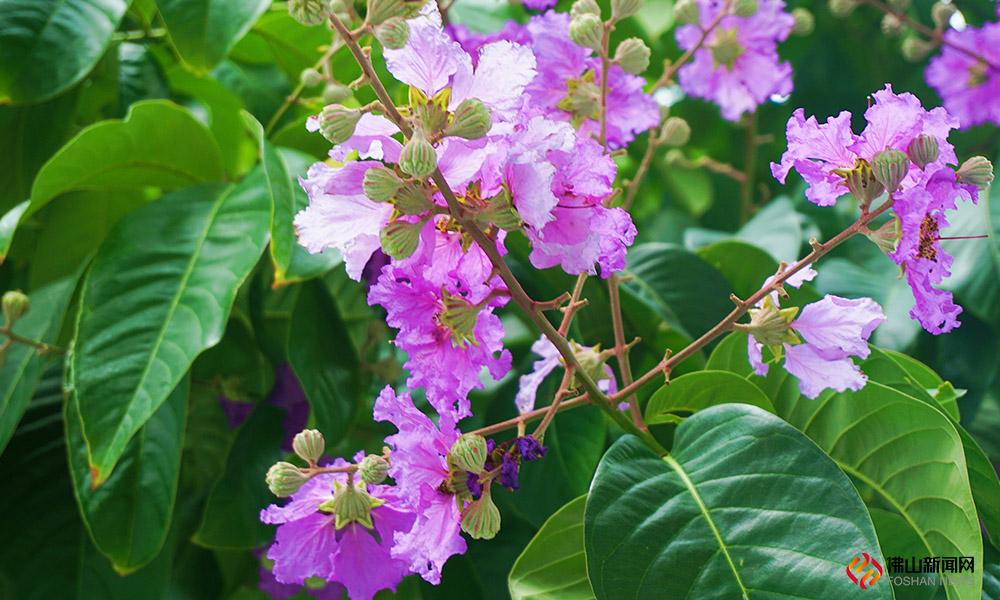 """""""庭前紫薇初作花,容华婉婉明朝霞。""""这句话用来形容大叶紫薇是非常合适的。"""