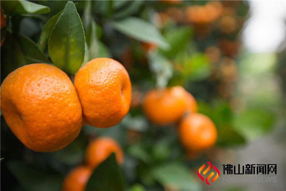 还未过年,陈村仙涌的年桔已经开始染上橘黄色,带来喜庆的年味。(威尼斯人棋牌游戏平台新闻网陈憧炜摄)