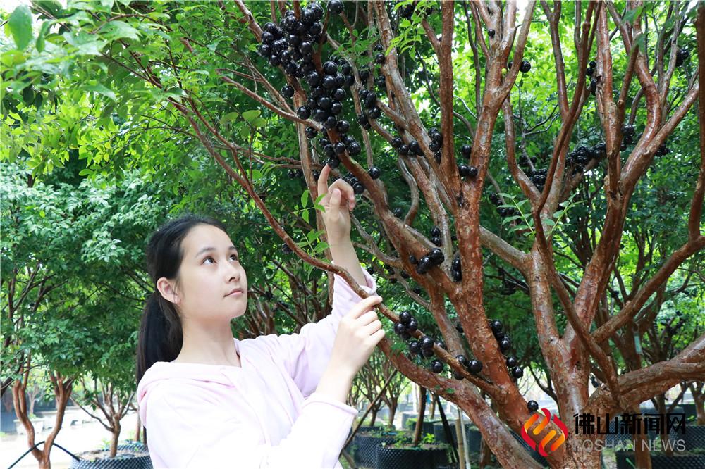 """圆滚滚,黑乎乎,外表似""""佛珠"""",一颗果竟然能吃出四种水果味!刷爆朋友圈的""""土豪果""""惊现威尼斯人棋牌游戏平台300亩园区,5万株果树当下正是采摘期!预计可持续采摘至5月中。"""