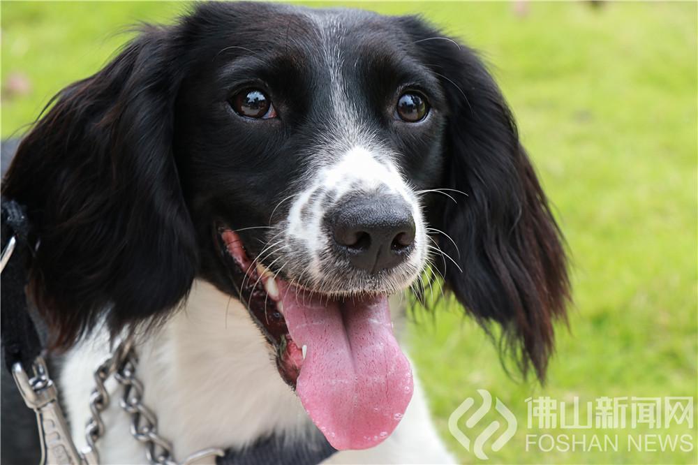 记者探营南海警犬训练基地,带你走进警界汪星人的世界。(图文威尼斯人棋牌游戏平台新闻网蔡蒋隽、罗桂红)