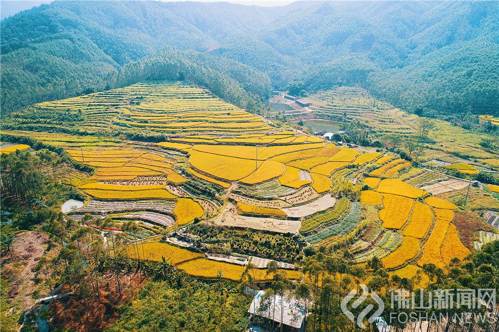 每到秋分一过,威尼斯人网上娱乐农村的一片片稻田逐渐染上金黄色,在皎蓝的天空之下,渐渐描绘出一幅艳丽的丰收图。 chao摄