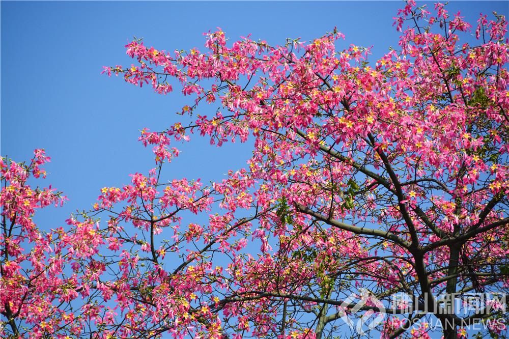 威尼斯人棋牌游戏平台大街小巷的异木棉开了,宛如一片片粉色的云彩,颜值完全不输银杏,快来邂逅这唯美秋色! 捕风捉影摄