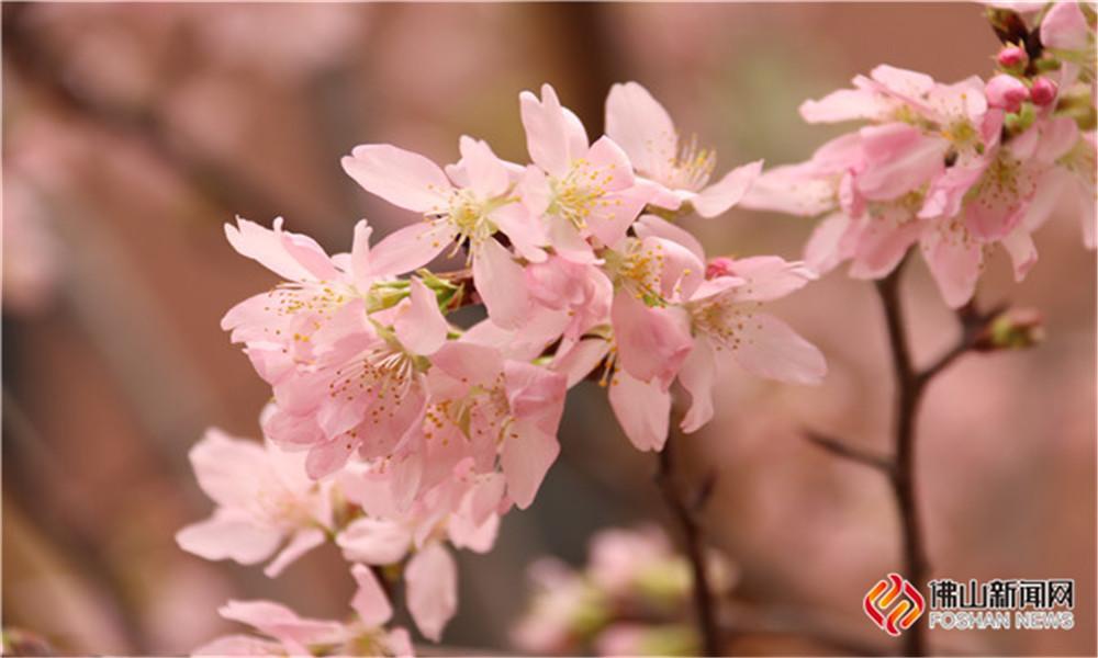 赏樱不必出远门,威尼斯人网上娱乐官网也可让你看个够!满屏粉色浪漫,醉倒你的少女心!(图片:冯翠萍)