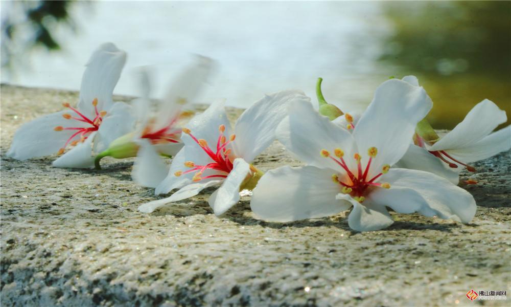 西樵山桐油花蓦然绽放,朵朵百花美如飘雪。(图/陆惠嫦 文/冯慧雯)