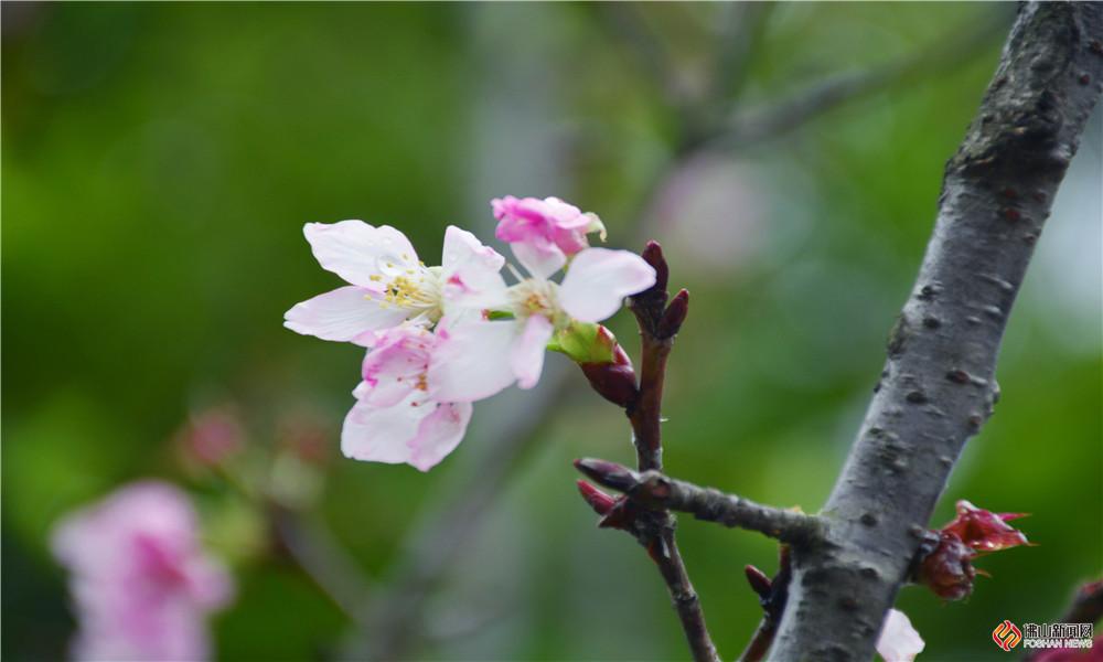 又到了一年的樱花季,亚艺公园的樱花也开啦。连日下雨,樱花上沾着雨露,显得格外灵动。(图/曹欣仪 文/冯慧雯)