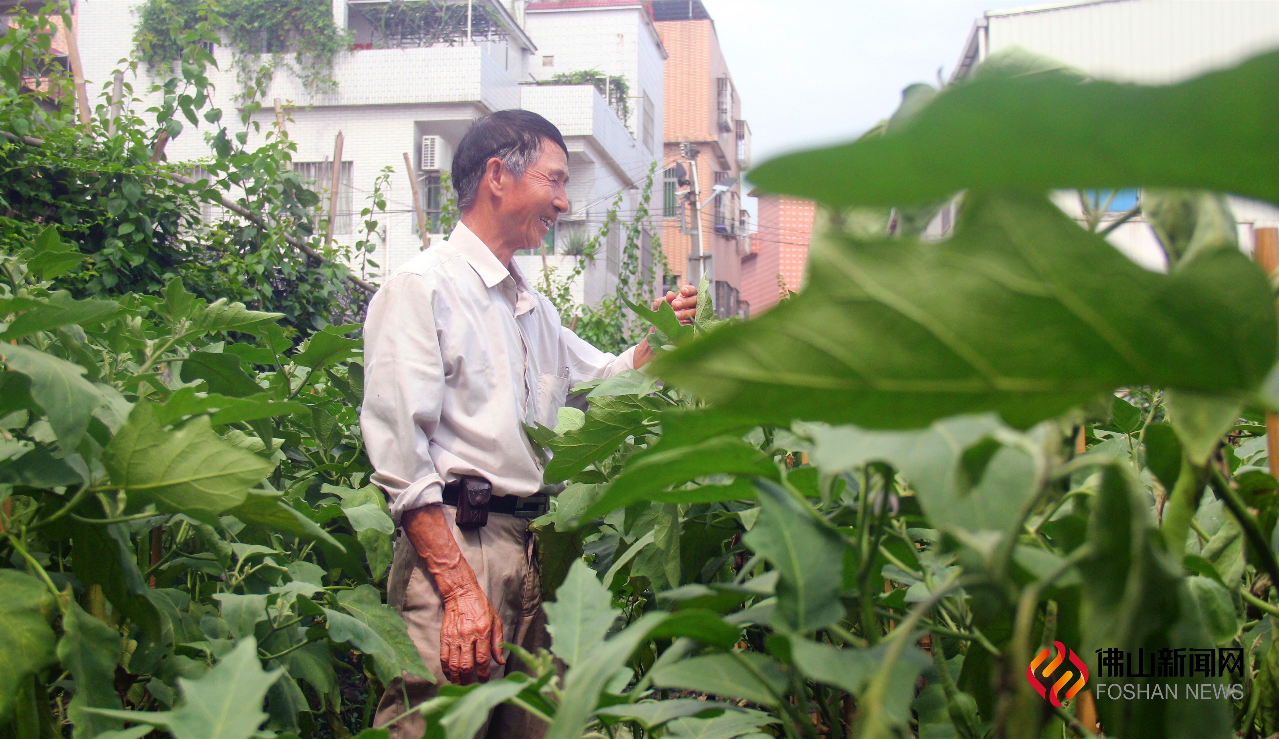 6月的尾声,肉润汁多、籽少无渣的广东特色蔬菜——盐步秋茄上市啦!