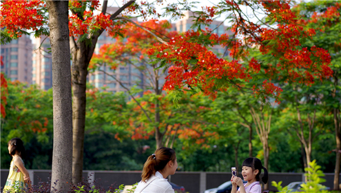又到一年毕业季,如今的南海桂城,迎来了凤凰花的绽放季。_副本.jpg