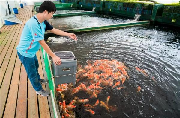 佛山锦鲤赛黃金,条条日本名种,一池价值过百万!